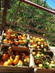 Дикарем на море в Абхазию отдых в Гаграх осенью, урожай хурмы.