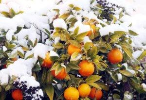 Абхазия зимой зимняя Абхазия новый год рождество мандарины