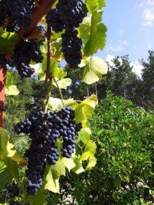Отдых в Абхазии дикарем частный сектор на море в Гаграх, природа, виноград.