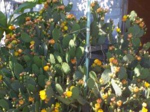 Абхазия отдых в Гаграх. Цветущий кактус.