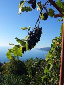 Отдых в Абхазии дикарем жилье у моря в Гаграх виноград