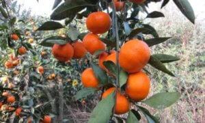 Мандариновая зима в Абхазии