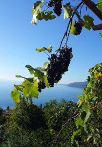 Абхазия Гагра осень виноград